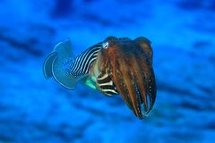 Common cuttlefish. (Sepia officinalis) in the atlantic ocean Royalty Free Stock Images