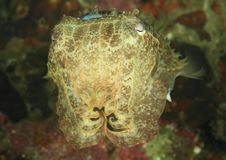 Common cuttlefish - Sepia officinalis. Swimming in sea in Lembeh Strait, North Sulawesi, Indonesia Royalty Free Stock Photo