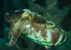 Common cuttlefish - Sepia officinalis. Swimming in sea in Lembeh Strait, North Sulawesi, Indonesia Stock Image