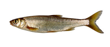 Common dace Royalty Free Stock Image