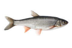 Common dace Stock Photo