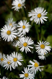 Common Daisies, Bellis perennis. Cluster of Common Daisies, Bellis perennis Royalty Free Stock Photos