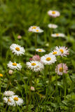Common daisies in bloom Royalty Free Stock Photo