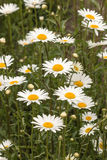 Common daisies Royalty Free Stock Image