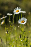 Common daisies and ribwort plantains Stock Images