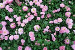Common daisy Bellis perennis. Full frame Stock Image