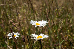 Common daisy Bellis perennis on the meadow in spring.  Stock Photos