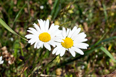 Common daisy Bellis perennis on the meadow in spring.  Royalty Free Stock Images