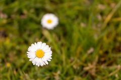 Common daisy in a field. Common daisy, Bellis perennis in full bloom with a green grass in the background Royalty Free Stock Photography