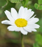 Common Daisy flower Stock Photography