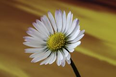 Common daisy flower Bellis perennis Stock Photography