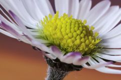 Common daisy flower Bellis perennis Royalty Free Stock Image
