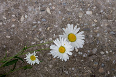 Common Daisy flower Royalty Free Stock Photography