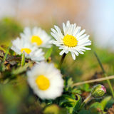 Common daisy flowers in green grass Stock Image