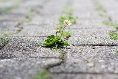 Free Common Daisy Growing On Concrete Ground Stock Images - 117521754