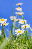 Common Daisy In Grass Royalty Free Stock Images