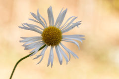 Common daisy Stock Images