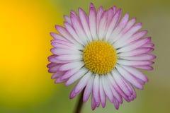 Common daisy Stock Photography