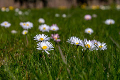Common Daisy Royalty Free Stock Photography