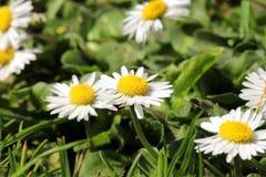 Common Daisy stock image