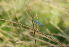 Common damselfly eating a fly royalty free stock image