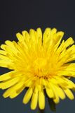Common Dandelion Royalty Free Stock Photos