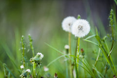 Common dandelion Royalty Free Stock Photography