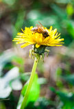 Common dandelion with bee. Yellow wild flower of common dandelion with bee extracting pollen stock images