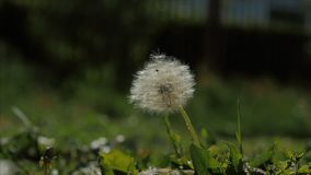 Common dandelion, being blown and dispersed by wind, slow motion. Common dandelion, being blown and dispersed by wind, slow motion stock video