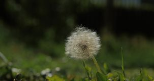 Common dandelion, being blown and dispersed by wind, slow motion. Common dandelion, being blown and dispersed by wind, slow motion stock video footage