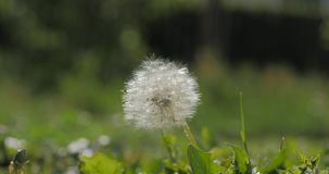 Common dandelion, being blown and dispersed by wind, slow motion. Common dandelion, being blown and dispersed by wind, slow motion stock footage