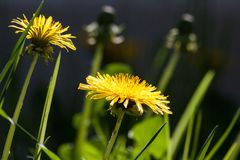 Common Dandelion, Dandelion, Flower Royalty Free Stock Images