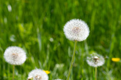 Common Dandelion Royalty Free Stock Image
