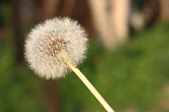 The common dandelion. In the field Royalty Free Stock Photography