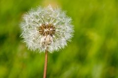 The common dandelion. In the field Stock Image