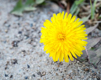 Common Dandelion Flower on Overcast Day Above Sidewalk Stock Photography
