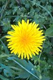 Common Dandelion. The dandelion is the only flower that represents the three celestials bodies of the sun, moon and stars. The yellow flower resembles the sun stock images