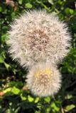 Common Dandelion. The dandelion is the only flower that represents the three celestials bodies of the sun, moon and stars. The yellow flower resembles the sun stock photography