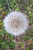 Common Dandelion. The dandelion is the only flower that represents the three celestials bodies of the sun, moon and stars. The yellow flower resembles the sun stock photos