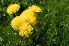 Common dandelion. Flowers on lawn spring Royalty Free Stock Photography