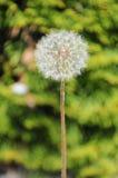 Common dandelion Stock Photos