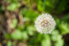 Common dandelion head seeds in uncultivated field Royalty Free Stock Image