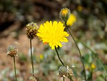 Common dandelion Herbal medicine and culinary. Taraxacum officinale, the common dandelionis a flowering herbaceous perennial plant of the family Asteraceae Stock Photo