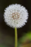 Common Dandelion (lt. Taraxacum sect. Ruderalia). With green background Royalty Free Stock Image