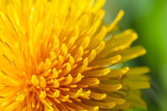 Common dandelion Stock Photography