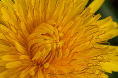 Common dandelion Stock Photo
