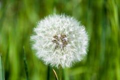 Common dandelion, the dandelion stock photo