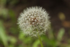 Common dandelion Stock Images