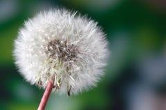 Common dandelion seed head Stock Photography
