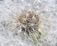 Common Dandelion Seeds Royalty Free Stock Photography